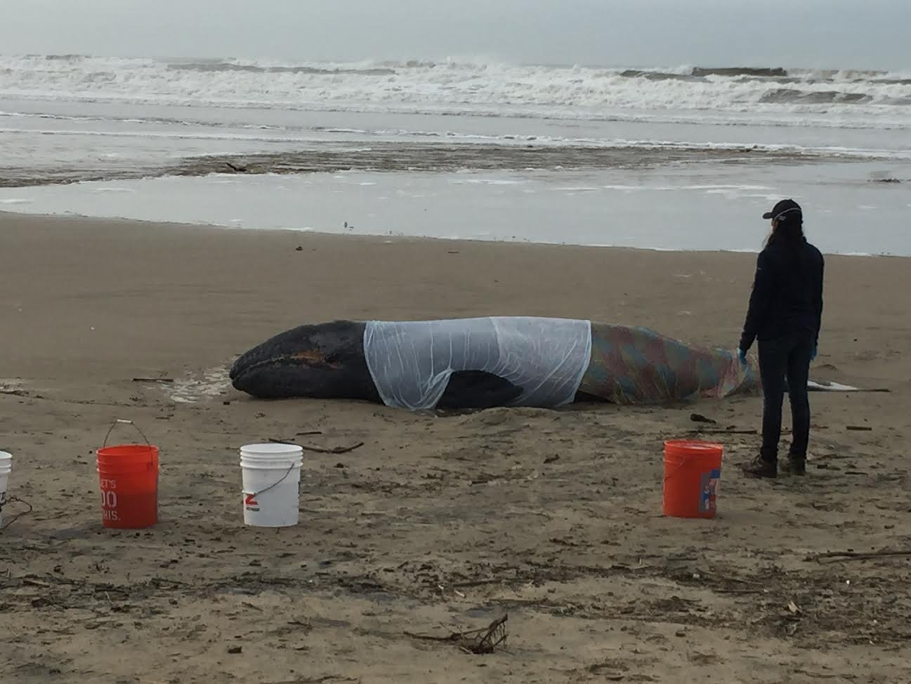 The beached whale was reported to officials at around 7:00 a.m. Tuesday. (Photo: Jason VanDyke)