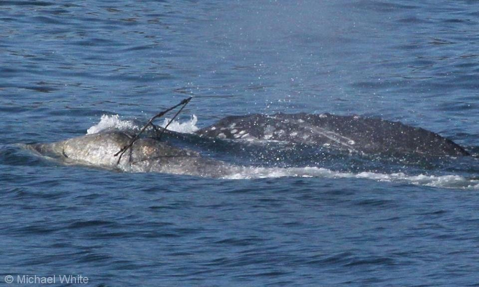 Experts say the gray whale could be passing through the Santa Barbara channel Monday. (Photo: Michael White, naturalist)