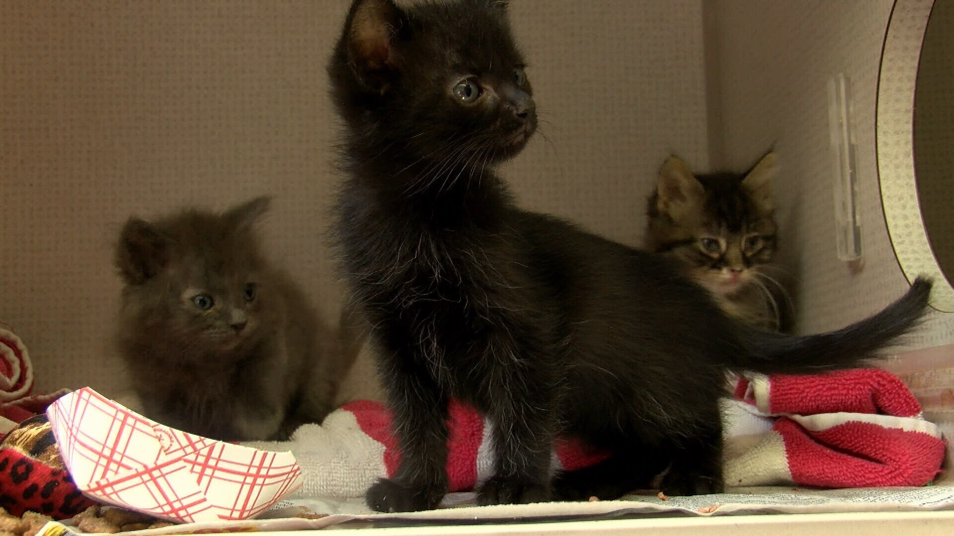 Kittens at San Luis Obispo County Animal Services. (KSBY photo)