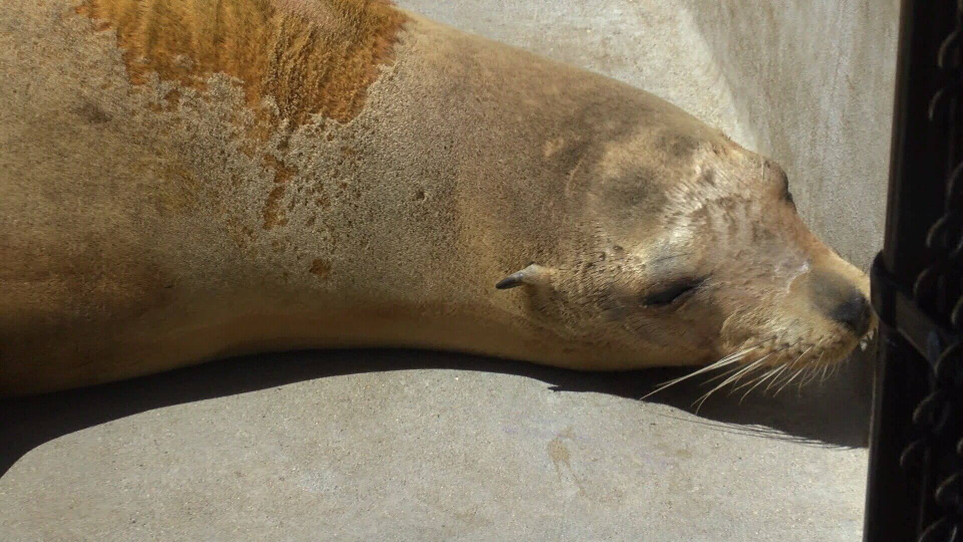 A sick sea lion at the Marine Mammal Center in Morro Bay. (KSBY photo)