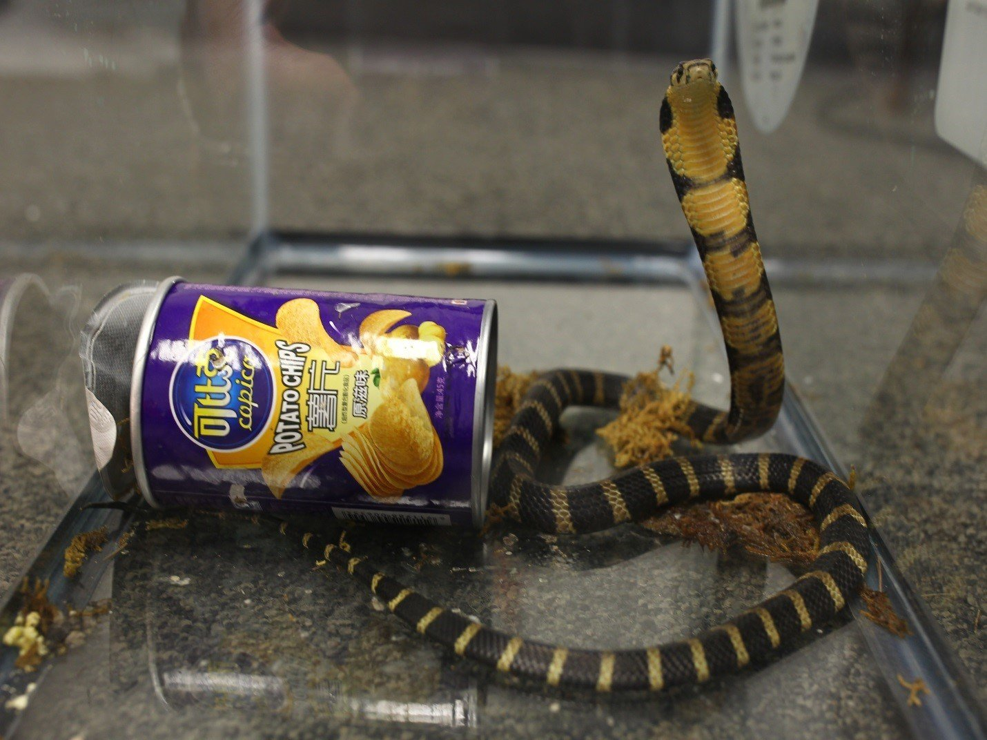 Man arrested for smuggling cobras in potato chip cans