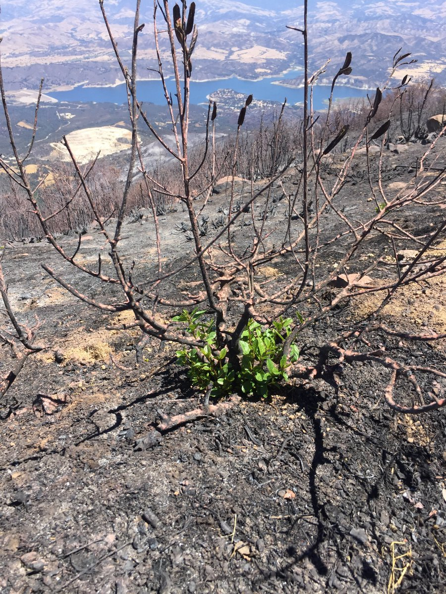 The Los Padres National Forest posted a picture on Twitter Monday morning showing a small amount of greenery surrounded by charred hillsides in the Whittier Fire burn area. (Los Padres NF picture)
