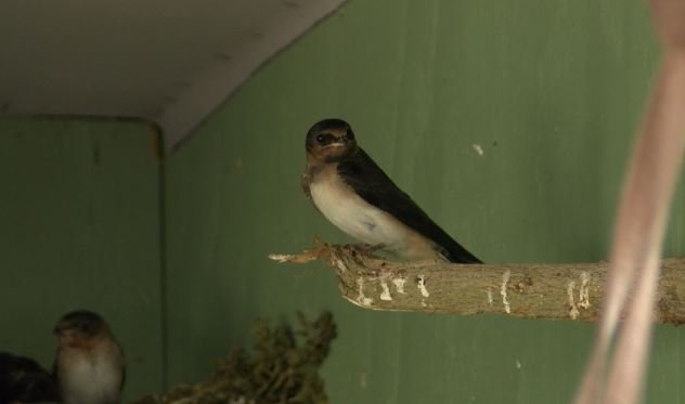 A cliff swallow at Pacific Wildlife Care Center. (KSBY photo)