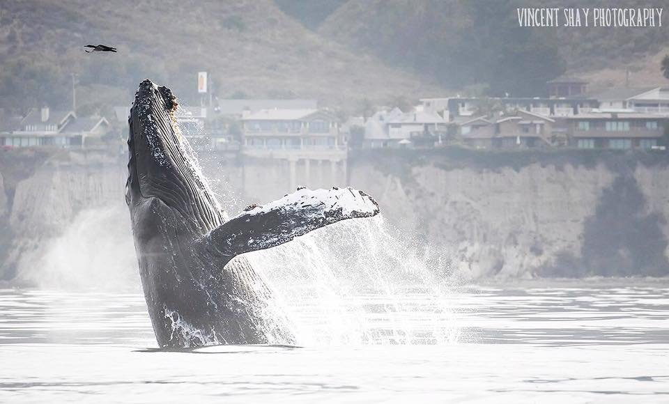 A humpback whale breaches Thursday in Avila Beach. (Courtesy: Vincent Shay)