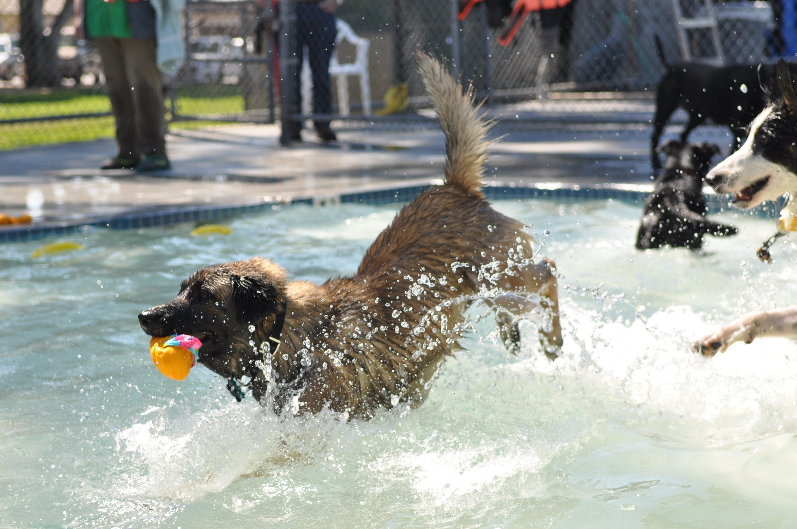 Dogs play in the pool during Dog Splash Days in Templeton. (Photo courtesy Jillian Parks)
