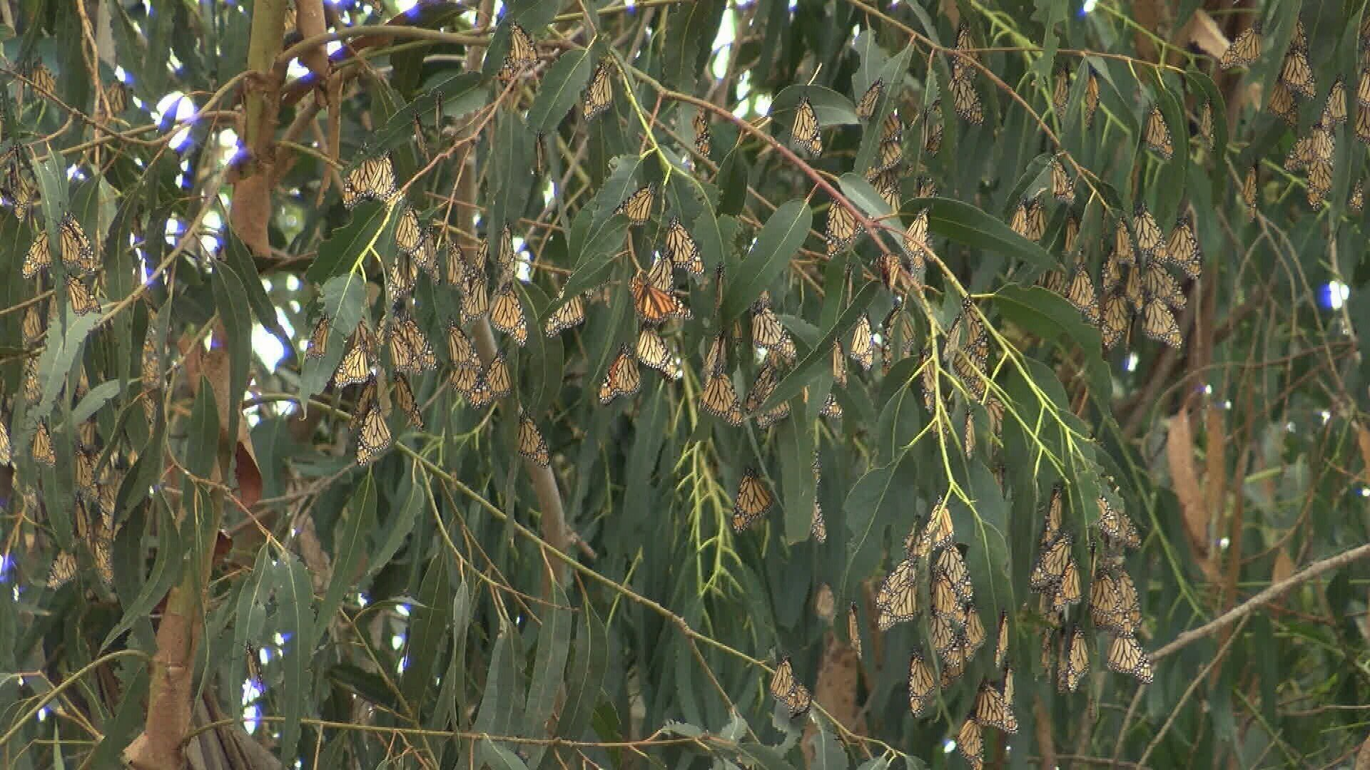 Monarch butterflies at the Pismo State Beach Monarch Butterfly Grove. (KSBY photo)