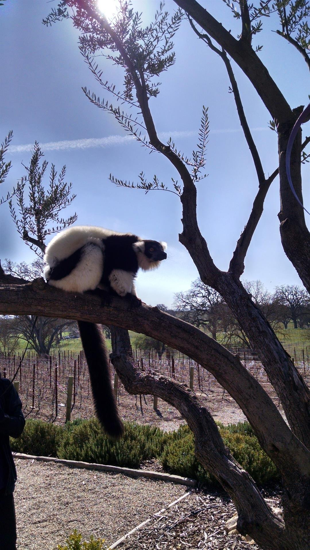 A lemur visits J Dusi Winery during Zoo to You's Wine Safari weekend in 2016. (KSBY photo)