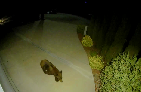 The bear walked right up to the woman's home and activated the camera (Winter's Ring device)