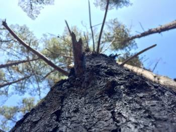 Many of the pine trees in Cambria are dead or diseased due to drought and insects. (KSBY)