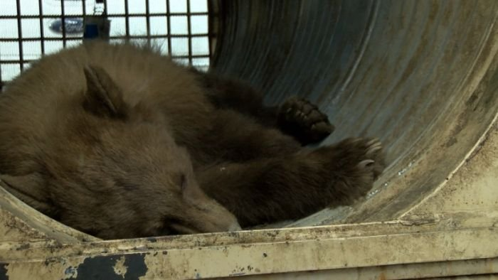 A bear that rode in a garbage truck into Fresno is tranquilized and returned to the wild. (KSEE)