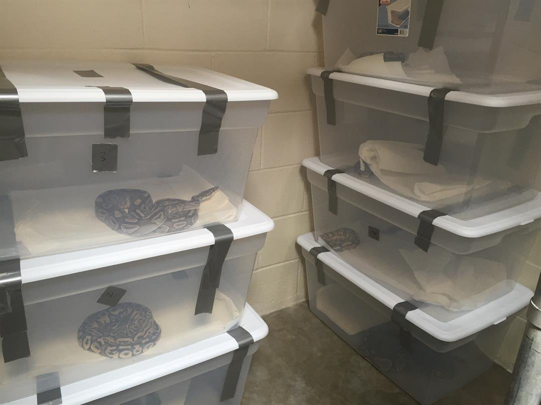 The 20 Live Pythons Are Being Held At San Luis Obispo County Animal  Services. (